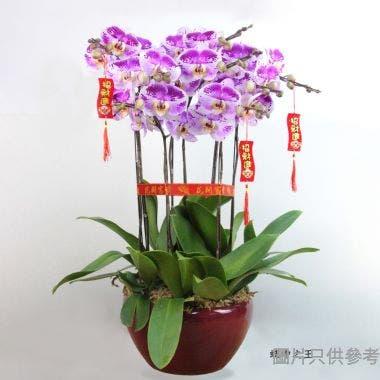 """香港蘭花 8菖蝶中之王紅色帶粉紅斑紋(12""""高)"""